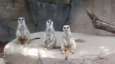 Some meerkats chillin at the Louisville zoo