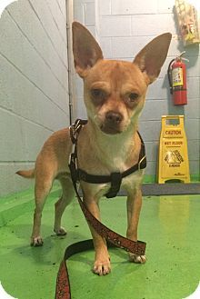 Papi is a Chihuahua up for adoption at the Humane Society of New York.