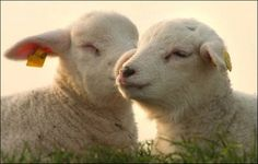 Sheep are quadrupedal, ruminant mammals typically kept as livestock. Like all ruminants, sheep are members of the order Artiodactyla, the even-toed ungulates. Goat Picture, Cute Lamb, Cute Sheep, Sheep And Lamb, Lord Is My Shepherd, Cute Baby Animals, Animal Babies, Livestock, Mammals
