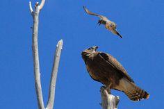 Kingbird vs. Hawk by Paul Marto on 500px