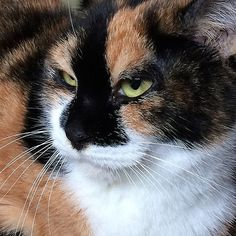 great calico cat ! interesting markings