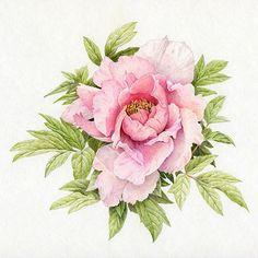 botanical peony sketch - Google Search