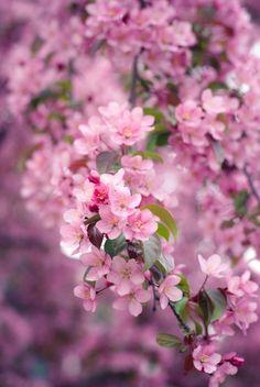 Trees in bloom. Sakura Cherry Blossom, Pink Blossom, Blossom Trees, Cherry Blossoms, Ikebana, Amazing Flowers, Beautiful Flowers, Flower Wallpaper, Flower Petals