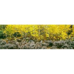 Aspen trees and Sagebrush in a grove Lupine Meadows Grand Teton National Park Wyoming USA Canvas Art - Panoramic Images (27 x 9)