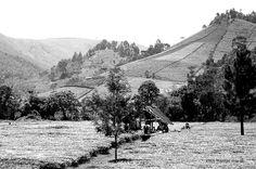 Uganda tea fields