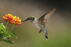 Lantana Flower, Lantana Plant, Purslane Plant, Hummingbird Flowers, Hummingbird Garden, Hummingbird Photos, Hummingbird Migration, Butterfly Plants, Butterflies