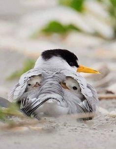 This is the adorable moment two cute baby birds nestle under their mother's wings. Photographer Melissa Groo, who captured the images in New Jersey, said the Least Terns were sheltering from … Pretty Birds, Love Birds, Beautiful Birds, Animals Beautiful, Small Birds, Colorful Birds, Nature Animals, Animals And Pets, Cute Baby Animals