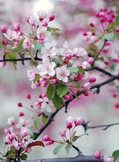 #kirschblüte