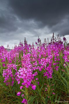 Fireweed. Reminds me of the north.
