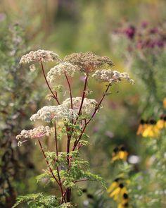@lejardindespoussins Selinum Tenuifolium  Särmäputkien sukuun (selinum) kuuluva laji.