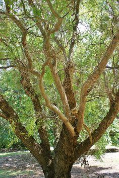 Salix matsudana 'Tortuosa' (Corkscrew willow)   pinned by Western Sage and KB Honey (aka Kidd Bros)
