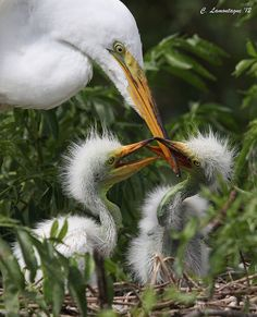 Open up mom, were hungry! by ~1ladybug~Off and On, via Flickr Great egret and chicks about one week old