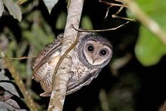 A cute Sooty Owl. Photo by Sandy Carroll.