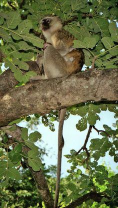 Chobe National Park, Botswana - Travel Photos by Galen R Frysinger, Sheboygan, Wisconsin Chobe National Park, National Parks, South Africa Wildlife, Volunteer Services, Game Reserve, Zimbabwe, Primates, Monkeys, Wisconsin