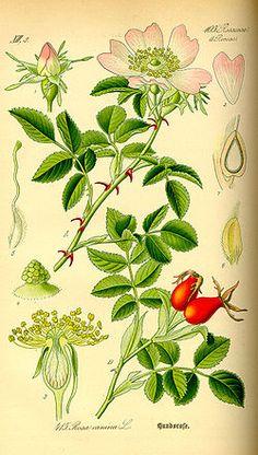 Stenros, törnros eller hundros (Rosa canina)