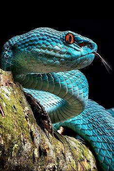 Sunda Island Viper