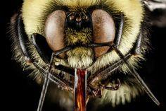 Megacurioso - Macrofotografias revelam o incrível visual das abelhas [galeria]