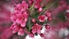 Herunterladen 1920x1080 Full HD Hintergrundbilder rosa blüten blüte frühling…