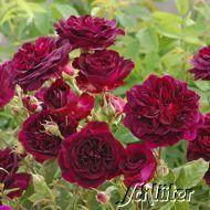 """David Austin """"Munstead Wood""""  Die Knospen sind hellrot, bei weiterem Öffnen verwandeln sich diese in tief karmesinrote, gefüllte Blüten, die groß und üppig erscheinen.  Weicher Duft der Nuancen von Beeren und Pflaumen besitzt. Ca. 90cm, öfterblühend."""