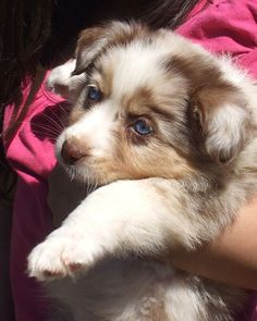 Aussie Shepard Puppy  <3 when kids are in the picture they'll be the perfect dog!