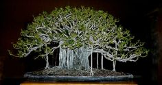 This bonsai was started from two single trunk dwarf scheffs (2 gallon size) purchased from Walmart about 20 years ago.