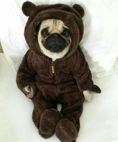 What a cute little Teddy pug. - All Pugs, Cute Baby Pugs, Cute Dogs And Puppies, Baby Dogs, Doggies, Cute Little Animals, Cute Funny Animals, Baby Animals Pictures, Terrier Puppies, Bulldog Puppies
