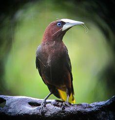https://flic.kr/p/dSE5L4 | Psarocolius wagleri / Oropéndola cabecicastaña / Chestnut-headed Oropendola | Pueblo Rico, Risaralda, Colombia ( Cerro Montezuma)