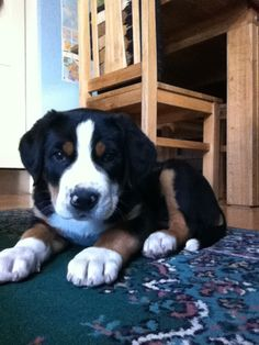 This is my baby boy (Great Swiss Mountain Dog) - we love him sooo much