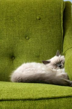 Himalayan cat snuggled on green couch Animal Gato, Mundo Animal, Crazy Cat Lady, Crazy Cats, I Love Cats, Cool Cats, Gatos Cats, Photo Chat, Cat Sleeping