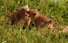 Playful Foxes | A shot from the spring. | rivadock4 | Flickr