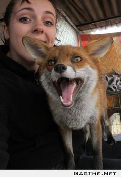 I volunteer at a Wildlife Sanctuary (England); Meet Raven, one of our tame foxes!