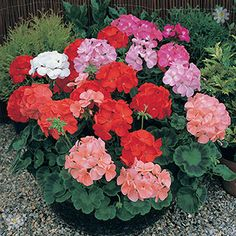 beautiful Spend Over £20 And Save 20% Geranium Cabaret mix 40 plug plants Check more at http://www.gardenorchid.co.uk/product/spend-over-20-and-save-20-geranium-cabaret-mix-40-plug-plants/