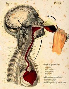 A verdadeira associação do vinho com o corpo humano, da boca ao coração!
