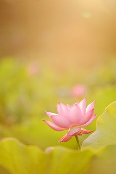 """""""What we have once enjoyed deeply we can never lose. Little Flowers, Love Flowers, Beautiful Flowers, Beautiful World, Beautiful Images, Bloom Where You Are Planted, I Believe In Pink, Flower Backgrounds, Water Lilies"""
