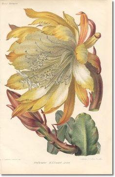 Revue Horticol - Botanical Print - Illustrated Book Plate Illustration from Revue Horticole 1800s - Botanical Print - 16 - CACTUS FLOWER Painting