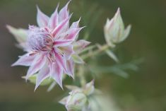 Rare Flowers, Pink Flowers, Heritage Month, The Fragile, Garden Plants, Blush, Romantic, Extinct, Bride