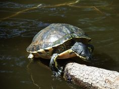 Turtle relaxing in the sun at Bonner park. Fuji S1.
