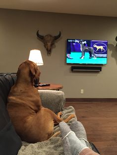 Jack watching the Westminster dog show