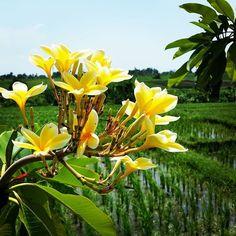#Bali #Reisfeld