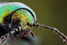 Rosemary Leaf Beetle - Chrysolina americana | Flickr - Photo Sharing!