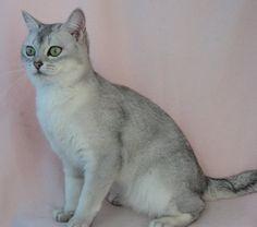Burmilla Lilac Burmilla Cat Burmilla Asian Cat