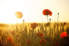 Amapolas,Amapola,Campo,Sunset,Amanecer,Atardecer,Luz de fondo,Puesta del Sol