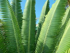 Leaves of a cycad, Dioon mejiae, outdoor grown in Southern California in sun
