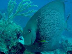 Grey Angel Fish, Scuba diving in Playa Del Carmen, Mexico's underwater wonderland