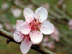 flor-de-pessegueiro Hina Matsuri, Flowers, Plants, Gd, Facebook, Style, Peach Blossoms, Witch Doctor, Flowers For Weddings