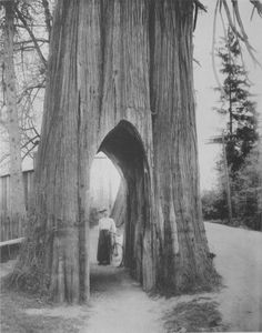 The Famous Bicycle Tree Of Snohomish  In Washington State    1910