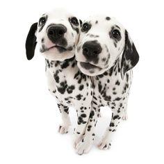 Puppies .....Dalmatians.........