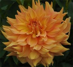 Swan island dahlias - HONEYMOON - Item #106 for front border, a selection of these, in various colors, roses, iris, day lilies, daisies