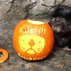 #Rialto's first Halloween! So cute already, no costume could compete.  .  .  #happyhalloween #babyotter #pumpkinart #marinemammalmonday #toocute #trickortreat