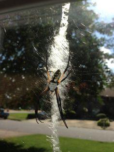 Ornamental Garden Spider, leg span is bigger than old time Silver Dollar
